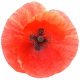 Poppy-closeup