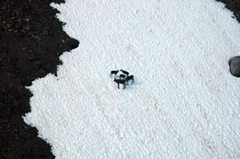 Caribou on ice patch.